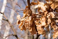 在分支关闭的干燥橡木叶子 免版税库存图片