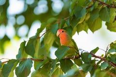 在分支关闭的玫瑰色具有的爱情鸟栖息处 免版税图库摄影