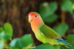 在分支关闭的玫瑰色具有的爱情鸟栖息处 免版税库存图片