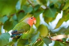 在分支关闭的玫瑰色具有的爱情鸟栖息处 库存图片