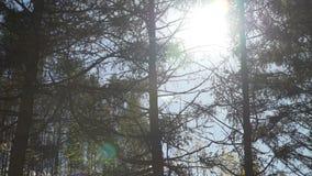 在分支后的光束在秋天森林里 股票录像