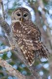 在分支和专心观看栖息的条纹猫头鹰 库存图片
