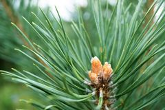 在分支和年轻杉木射击的绿色杉木针 免版税库存图片