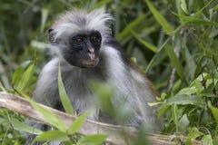 在分支和草中参加红色疣猴的画象 免版税库存图片
