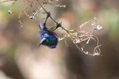 在分支垂悬在哺养在t的冠期间的Sunbird 图库摄影