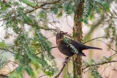 在分支安置的小棕色鸟,在秋天森林 免版税库存图片