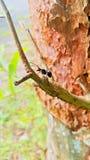 在分支宏指令的一只黑蚂蚁 免版税库存照片