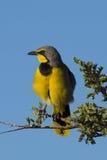 在分支或Bushshrike栖息的Bokmakierie 库存图片