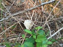 在分支早期的春天的螳螂茧 库存照片
