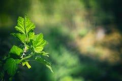 在分支春天的绿色纹理叶子 免版税图库摄影