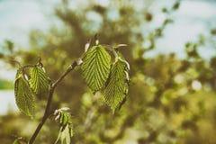 在分支春天的绿色纹理叶子 免版税库存照片