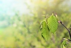 在分支春天的绿色纹理叶子 库存图片