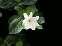 在分支树的白色栀子 图库摄影