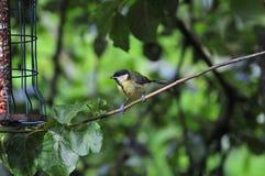 在分支栖息的伟大的山雀 库存照片