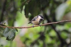 在分支栖息的伟大的山雀 免版税库存图片