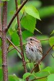 在分支栖息的北美歌雀 库存照片