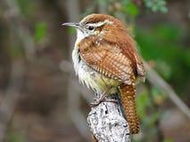 在分支栖息的卡罗来纳州鹪鹩 图库摄影