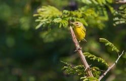 在分支栖息的大草原鸣鸟 免版税库存照片