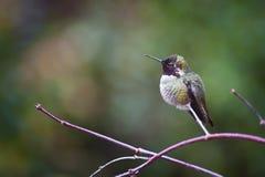 在分支栖息的安娜蜂鸟 免版税库存图片