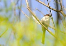 在分支栖息的少年长尾的山雀 免版税图库摄影