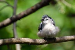 在分支栖息的幼小白的Breasted五子雀 免版税库存图片