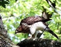 在分支栖息的木桶匠鹰 免版税库存照片