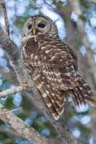 在分支栖息的条纹猫头鹰勘测场面 库存照片