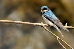 在分支栖息的树燕子 免版税库存照片
