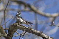 在分支栖息的树燕子 图库摄影