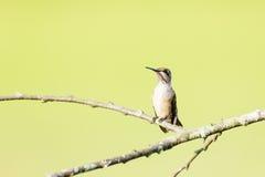 在分支栖息的母红宝石红喉刺莺的蜂鸟 免版税库存照片