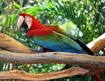 在分支栖息的猩红色金刚鹦鹉 免版税库存照片