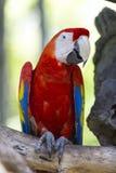 在分支栖息的猩红色金刚鹦鹉 库存照片