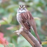在分支栖息的白色红喉刺莺的麻雀 免版税库存照片