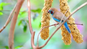 在分支栖息的红cheeked封销线青斑鸟 库存照片