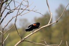 在分支栖息的美洲红翼鸫 免版税库存图片