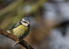 在分支栖息的蓝冠山雀鸟 免版税库存照片