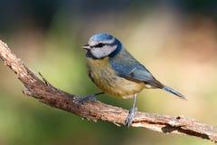 在分支栖息的蓝冠山雀 免版税库存照片