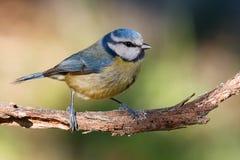 在分支栖息的蓝冠山雀 库存照片