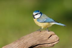 在分支栖息的蓝冠山雀 免版税库存图片