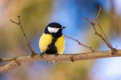 在分支栖息的蓝冠山雀 免版税图库摄影