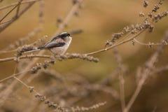 在分支栖息的长尾的山雀 免版税库存图片