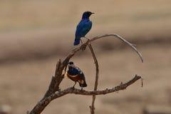 在分支栖息的雄伟椋鸟科 图库摄影