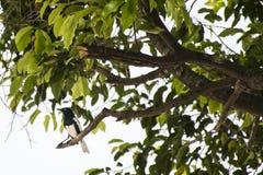 在分支栖息的鹊 免版税库存图片