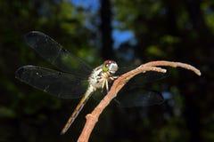 在分支栖息的蜻蜓 免版税库存照片