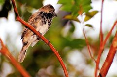 在分支栖息的Seedeater鸟在鸟舍 库存图片