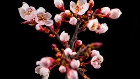 在分支樱桃树的白花开花 股票视频
