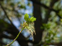 在分支灰有叶的槭树, Acer negundo,宏指令的男性花有bokeh背景,选择聚焦,浅DOF 免版税库存图片