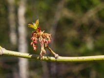 在分支灰有叶的槭树, Acer negundo,宏指令的男性花有bokeh背景,选择聚焦,浅DOF 免版税库存照片