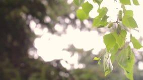 在分支特写镜头春天的桦树柔荑花 在自然背景的桦树芽 桦树的分支与叶子和肾脏的 股票录像