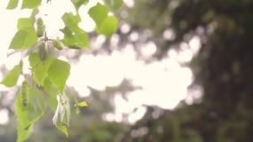 在分支特写镜头春天的桦树柔荑花 在自然背景的桦树芽 桦树的分支与叶子和肾脏的 股票视频